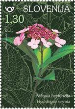 rastlinstvo-hortenzije-pecasta