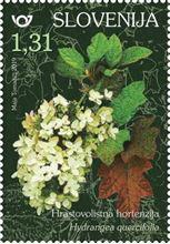 rastlinstvo-hortenzije-hrastovolistna