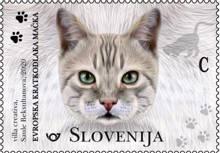 Živalstvo - mačke: evropska kratkodlaka mačka C