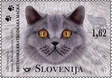 Živalstvo - mačke: britanska kratkodlaka mačka